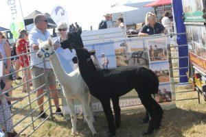 alpaca1 300x200 - alpaca1