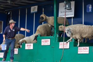 Good photo Stu with sheep dancing 300x200 - Attractions & Features